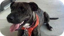 American Pit Bull Terrier Mix Dog for adoption in Huntsville, Alabama - Diesel URGENT!!!