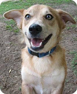 Corgi Mix Dog for adoption in Thomasville, North Carolina - Boo Boo