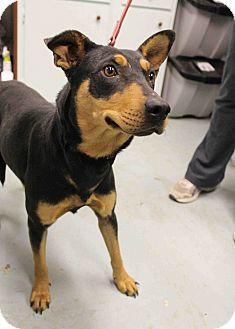 Doberman Pinscher/Shepherd (Unknown Type) Mix Dog for adoption in Westminster, Colorado - Isabella