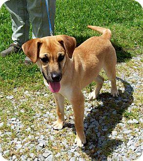Hound (Unknown Type)/Labrador Retriever Mix Dog for adoption in Glastonbury, Connecticut - COOKIE