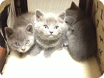 Domestic Shorthair Kitten for adoption in Chicago, Illinois - Luna, Loki, and Lola