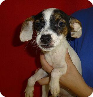 Rat Terrier Mix Puppy for adoption in Oviedo, Florida - Hanna