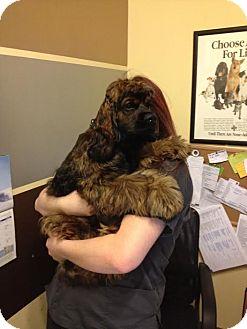 Cocker Spaniel Mix Dog for adoption in Allentown, Pennsylvania - Rupert Kingsley