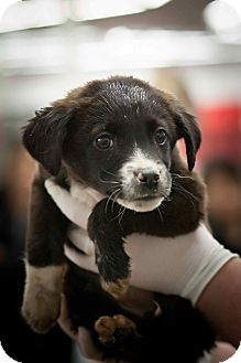 Australian Shepherd/Border Collie Mix Puppy for adoption in Westminster, Colorado - Pat