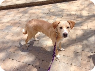 Labrador Retriever Mix Dog for adoption in North Brunswick, New Jersey - Roosevelt