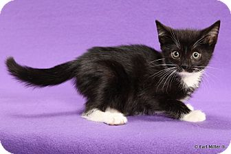 Domestic Shorthair Kitten for adoption in Las Vegas, Nevada - Tigger