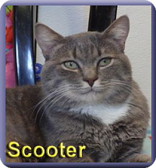 Domestic Shorthair Cat for adoption in Aldie, Virginia - Scooter