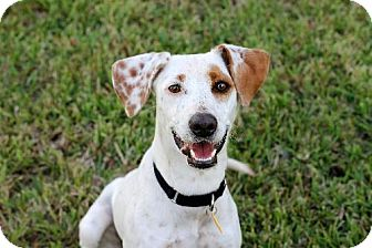 Whippet Mix Dog for adoption in New Smyrna beach, Florida - Lily