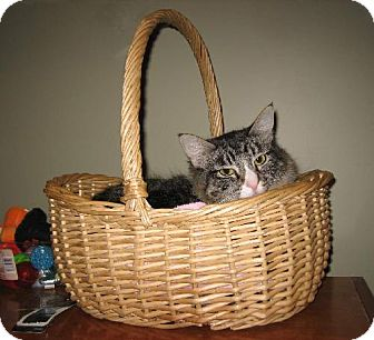 Maine Coon Cat for adoption in Oakland, California - Penny Lane