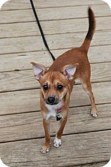 Chihuahua Mix Dog for adoption in Berea, Ohio - Alvin