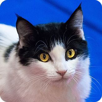 Domestic Mediumhair Kitten for adoption in Calgary, Alberta - Celine