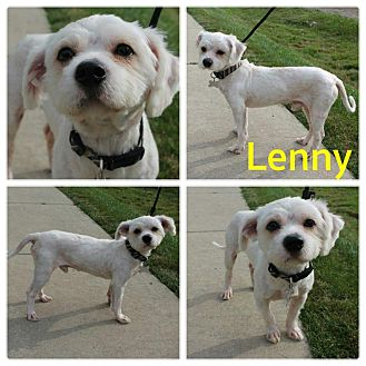 Shih Tzu Mix Dog for adoption in Garden City, Michigan - Lenny
