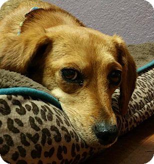 Dachshund/Beagle Mix Dog for adoption in Lisbon, Ohio - Barbie Dahl- ADOPTED!!