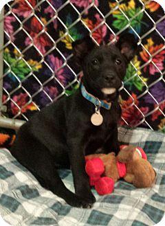 Labrador Retriever/Staffordshire Bull Terrier Mix Puppy for adoption in Scottsdale, Arizona - Jellybean