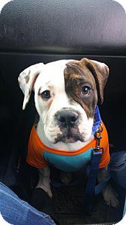 American Bulldog Puppy for adoption in Bronx, New York - Rosie
