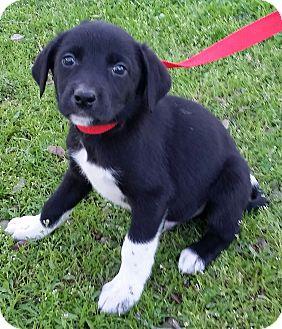 Border Collie/Labrador Retriever Mix Puppy for adoption in Red Bluff, California - Amos