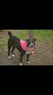 Blue Heeler/Welsh Corgi Mix Dog for adoption in Houston, Texas - Callie