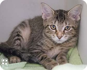 Domestic Shorthair Kitten for adoption in Merrifield, Virginia - Leo