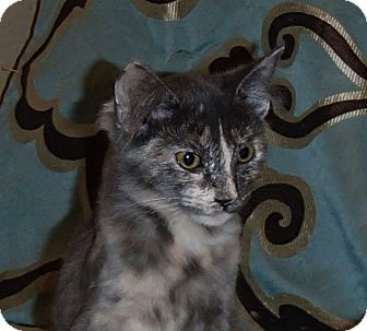 Domestic Mediumhair Kitten for adoption in North Wilkesboro, North Carolina - Glory