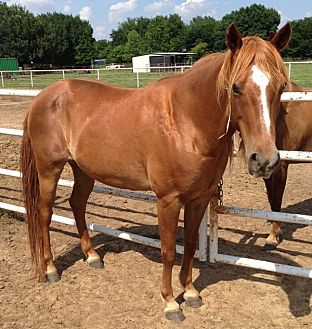 Pony - of America Mix for adoption in Bryan, Texas - Murphy