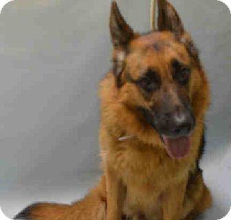 German Shepherd Dog Dog for adoption in Tully, New York - CHASE