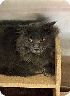 Domestic Mediumhair Cat for adoption in Colmar, Pennsylvania - Earl Grey-Adoption Pending!