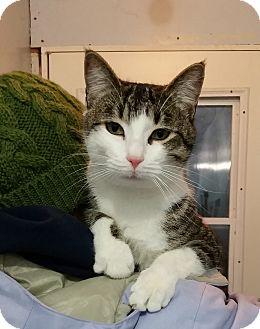 Domestic Shorthair Cat for adoption in Port Coquitlam, British Columbia - Jojo