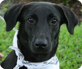 Labrador Retriever Mix Dog for adoption in Melrose, Florida - Wisteria