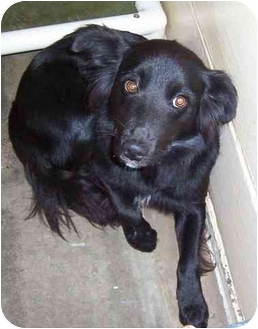 Flat-Coated Retriever Mix Puppy for adoption in Somerset, Pennsylvania - Dante