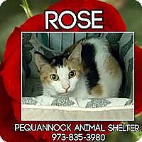 Calico Cat for adoption in Pompton Plains, New Jersey - Rose