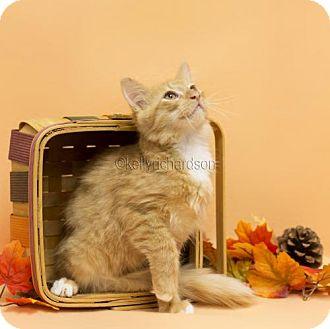 Domestic Mediumhair Kitten for adoption in Oviedo, Florida - Jody