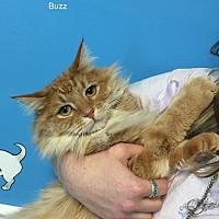 Adopt A Pet :: BUZZ - Hibbing, MN