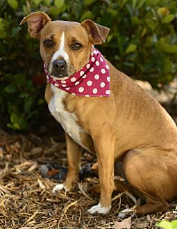 Beagle/Boxer Mix Dog for adoption in Torrance, California - Darla