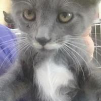 Domestic Shorthair/Domestic Shorthair Mix Cat for adoption in Greenville, Kentucky - Moose