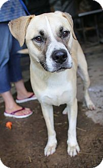 Boxer/Australian Shepherd Mix Dog for adoption in Albany, New York - Riley