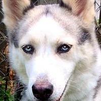 Adopt A Pet :: LUNA(WOW! GORGEOUS PB HUSKY!! - Wakefield, RI