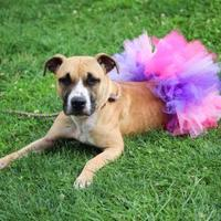 Adopt A Pet :: Tahlia - Anderson, IN