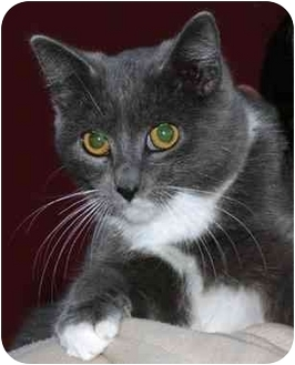 Domestic Shorthair Cat for adoption in El Segundo, California - Socks