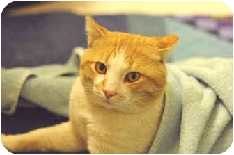 Domestic Shorthair Cat for adoption in Los Angeles, California - Ollie