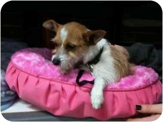 Jack Russell Terrier/Wirehaired Fox Terrier Mix Puppy for adoption in Culver City, California - Emily