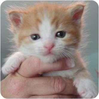 Domestic Shorthair Kitten for adoption in Houston, Texas - Lily