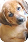Beagle Mix Puppy for adoption in Coventry, Rhode Island - Curly