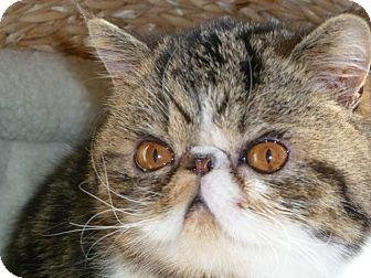 Exotic Kitten for adoption in Beverly Hills, California - Stevie
