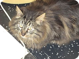 Maine Coon Cat for adoption in Jeffersonville, Indiana - Tiger