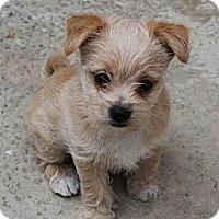 Adopt A Pet :: Zuby - La Habra Heights, CA