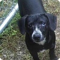 Adopt A Pet :: Ace-Low Adoption$150 - Bel Air, MD