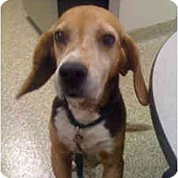 Adopt A Pet :: Andy - Indianapolis, IN