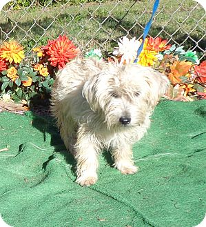 Cairn Terrier Mix Dog for adoption in Marietta, Georgia - SPONGE see also SCOOBY