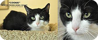 Domestic Mediumhair Cat for adoption in Ortonville, Michigan - Cookie