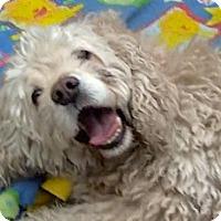 Adopt A Pet :: ELLIE DeSpaniel - Valley Village, CA